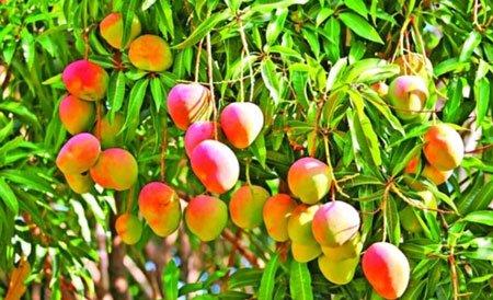 شجرة المانجو