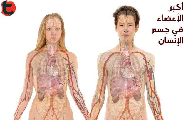 أعضاء الجسم ما هو أكبر عضو في جسم الإنسان توعية